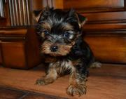 Little yorkie's for sale