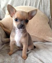 chihuahua puppies available