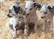 Beautiful Dalmation Puppies