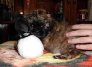 Shih tzu babies for sale